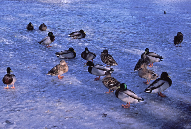 Mallards on a frozen Boxer's Lake, Enfield