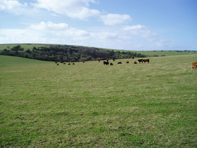 Cattle enjoying St David's Day