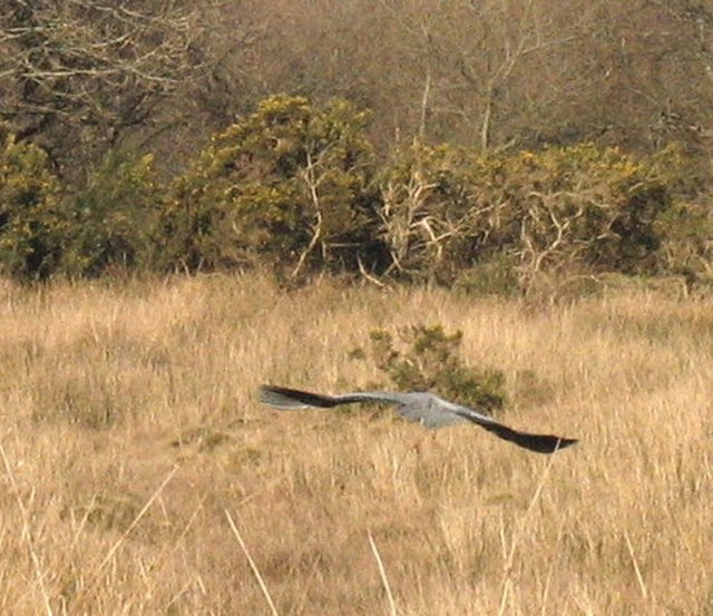 A heron on the wing