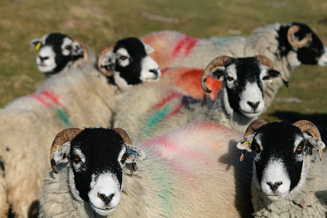 Sheep on Ingleborough Common (1)