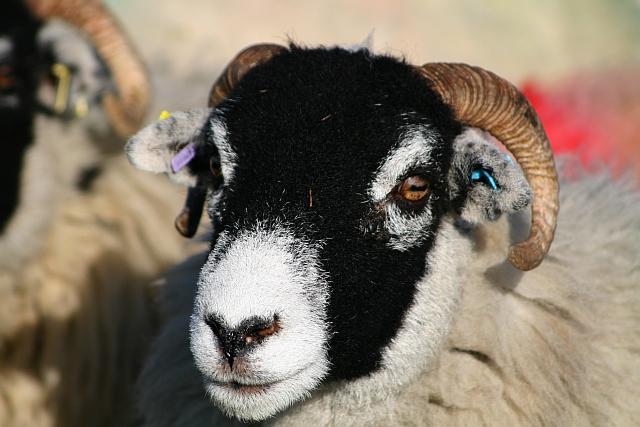 Sheep on Ingleborough Common (2)