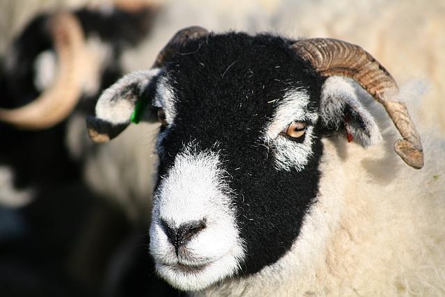 Sheep on Ingleborough Common (3)