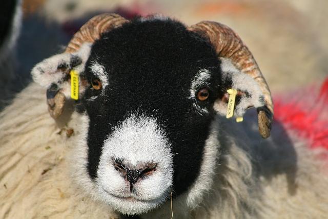 Sheep on Ingleborough Common (4)