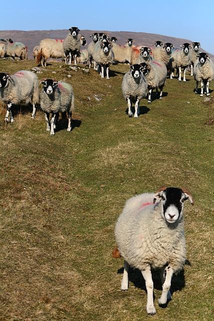 Sheep on Ingleborough Common (7)