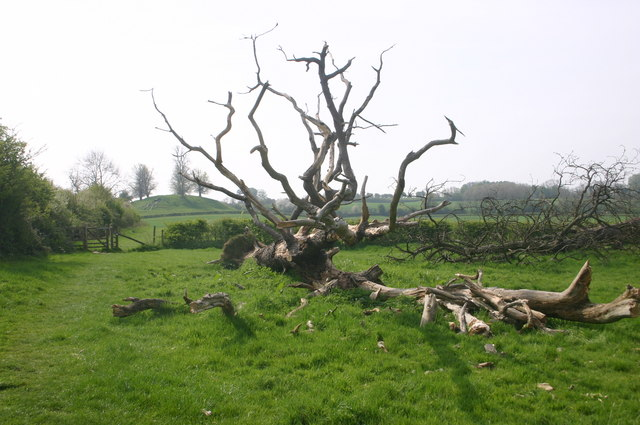 A fallen tree with Burn Hill behind