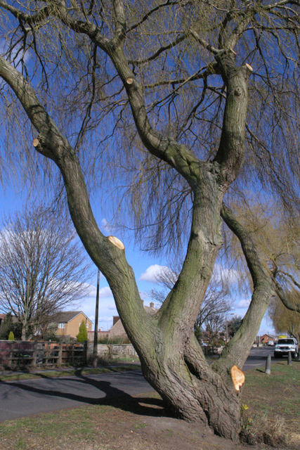 Willow on Canal Side, Beeston
