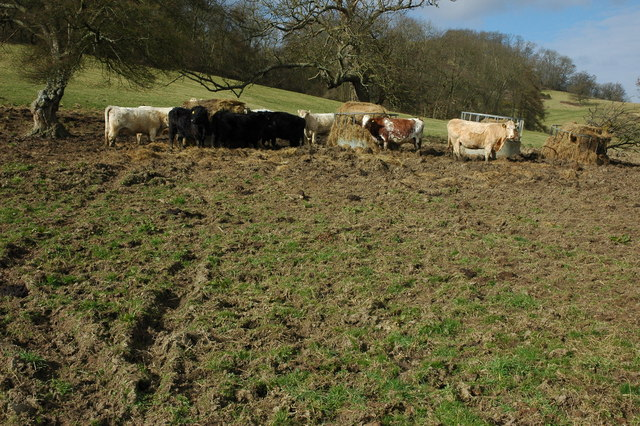 Cattle feeding below Dixton Wood