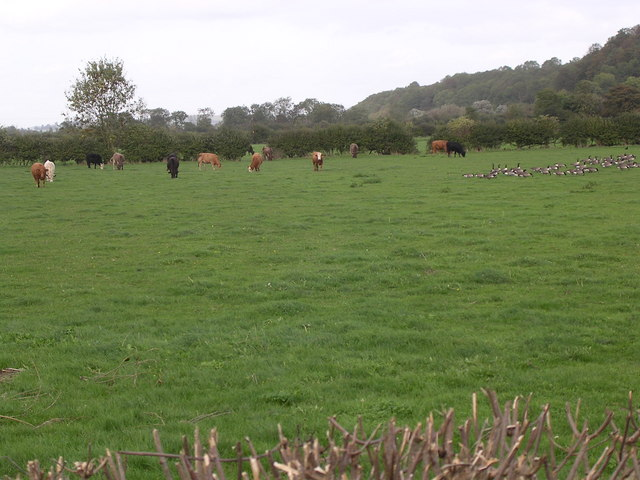 Cattle & Geese in the Field, Offenham Park