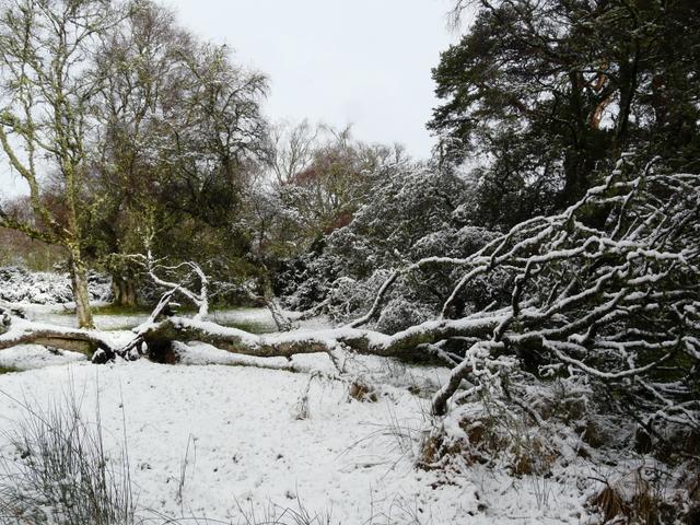 Fallen tree At Clashmore