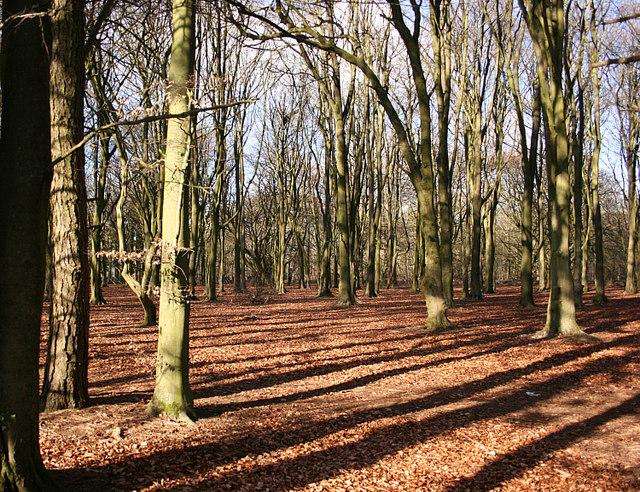 2008 : Beech wood, Lansdown