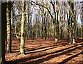 ST7169 : Beech wood, Lansdown : Week 9