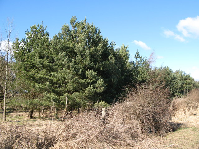 Plantation south of Stob Hill