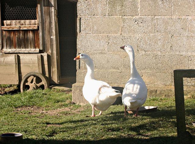 2008 : Geese, near Langridge