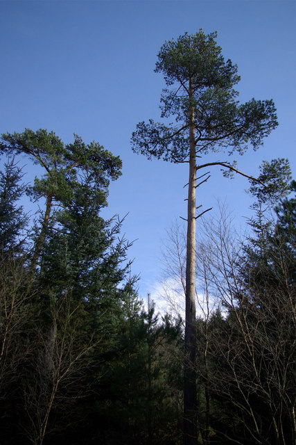 Tall Trees at Highwood Brow Viewpoint, Wykeham