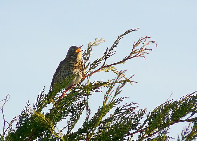 Early morning thrush