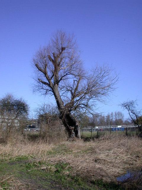 Hollow tree, Logan's Meadow
