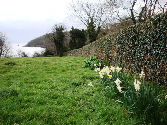 Daffodils point to Elberry Cove, Torbay