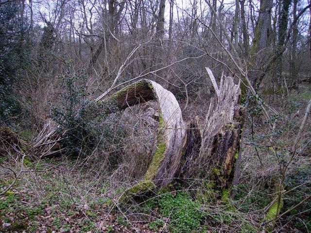 Barton Stacey -  Split Tree
