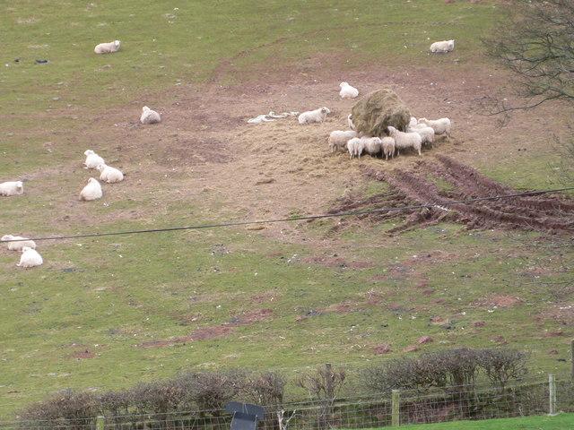 Big bale for sheep