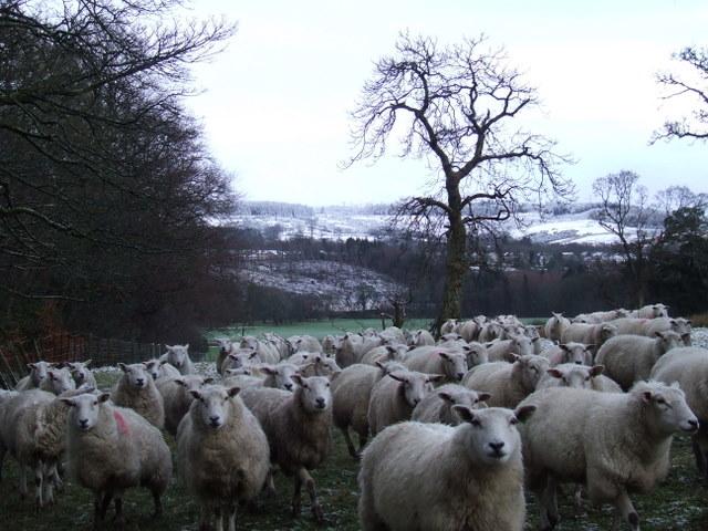 Sheep at Ardgowan