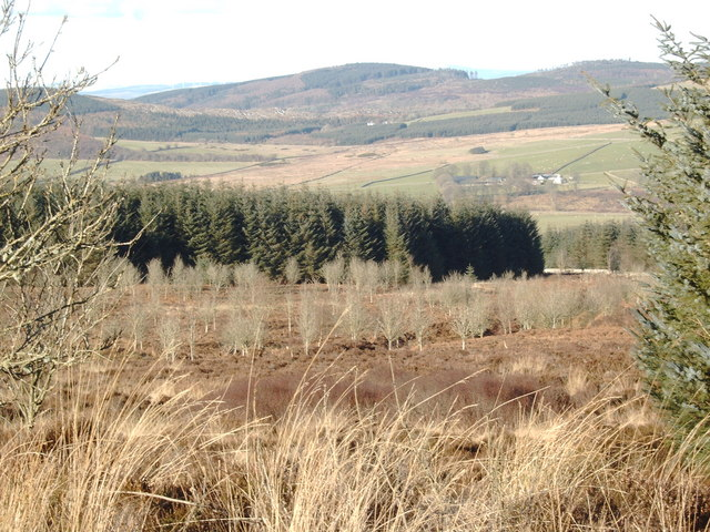 Plantation near Hayfield Knowe