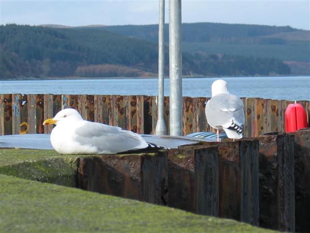Gulls resting at Carradale Harbour