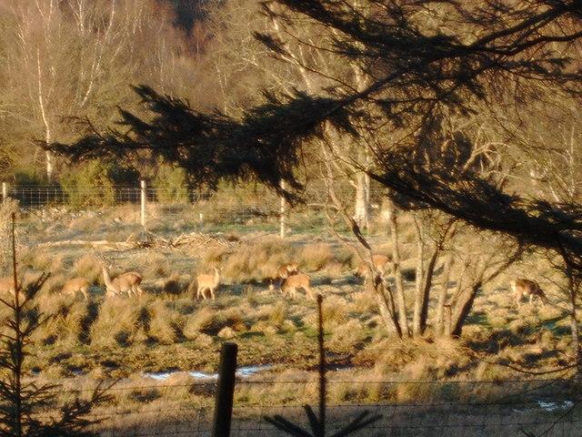 Deer (enclosed) at Kinharvie Farm