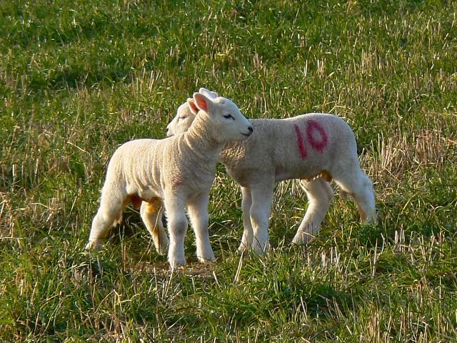 Lambs, south of Eastington