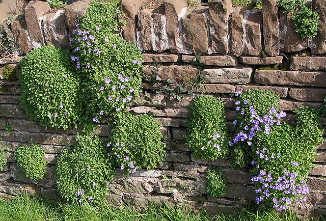Aubretia colonising a garden wall