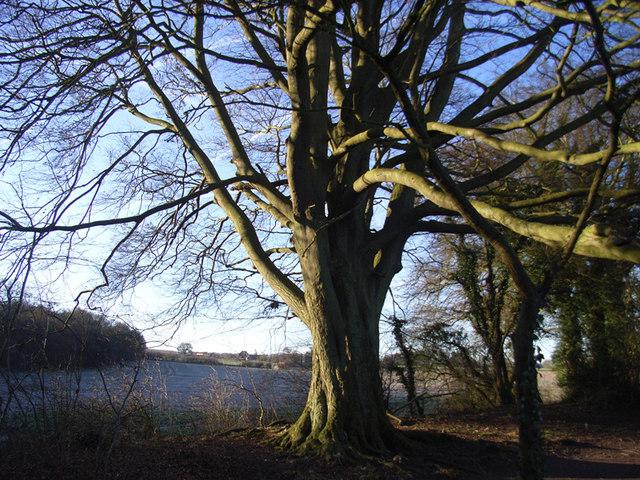 Trees near Wells Copse, East Oakley