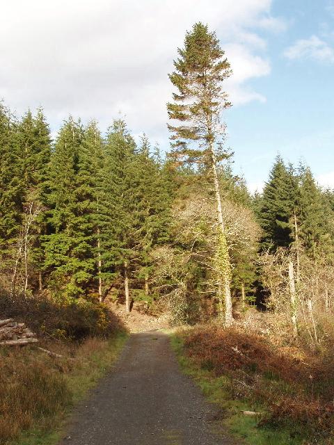 Conifers by Penhallam