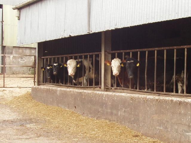 Cattle in Buttsbear Cross farmyard