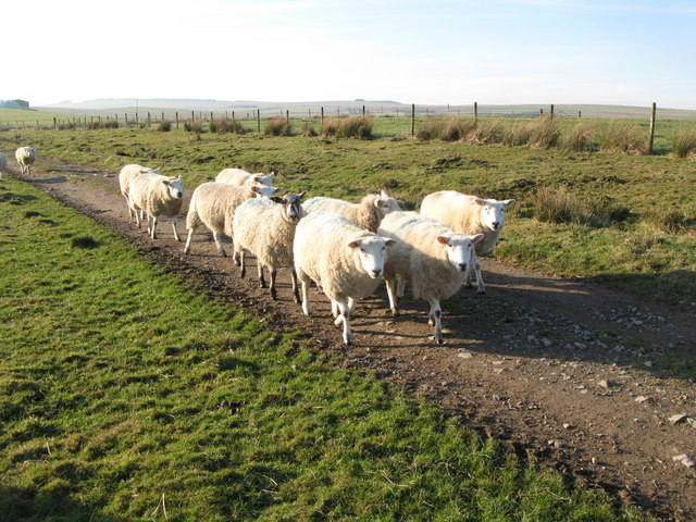 Sheep playing Grandmother's Footsteps