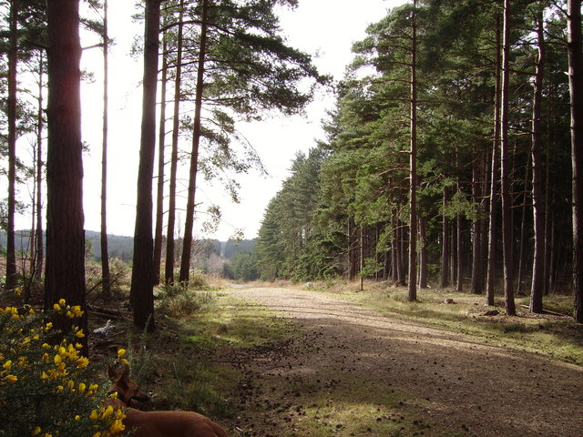 Track through Swinley Forest