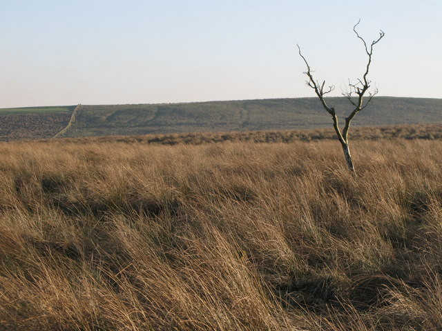 Lone tree on Burnhead Moss