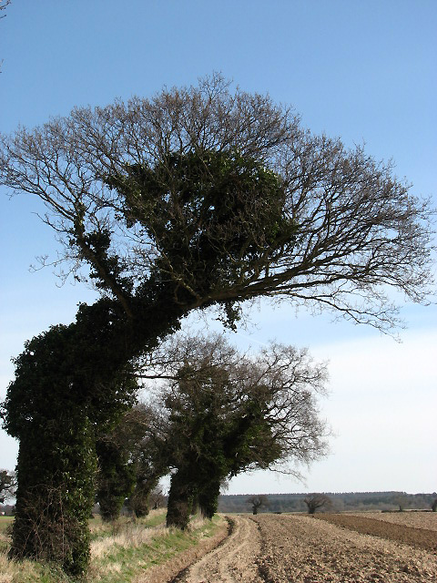 Wind-shaped trees