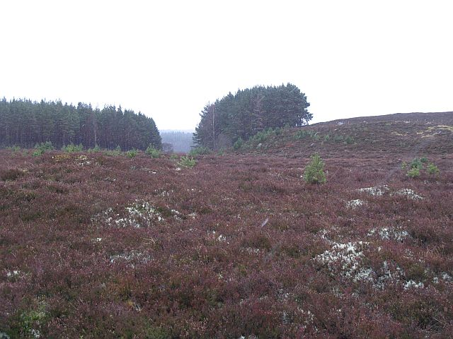 Young Scots pines, Drumguish