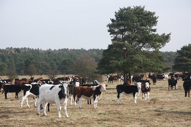 Cattle at Lakenheath Warren