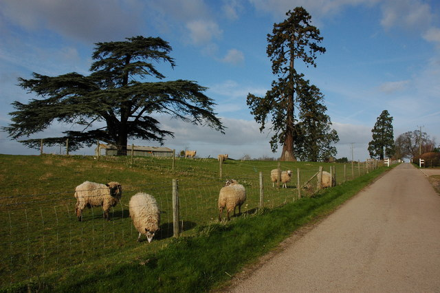 Sheep beside the road to Queenhill Church