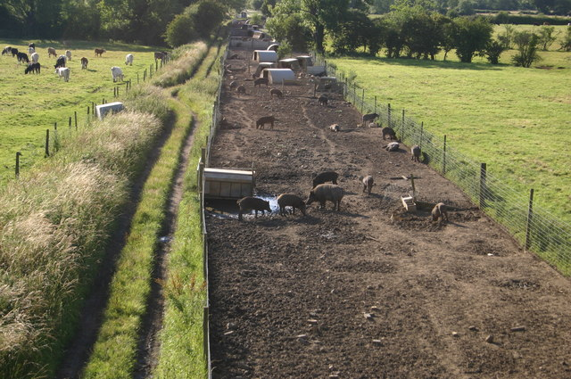 Pigs on the old railway