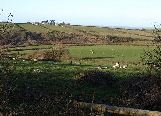 Sheep at Trencreek