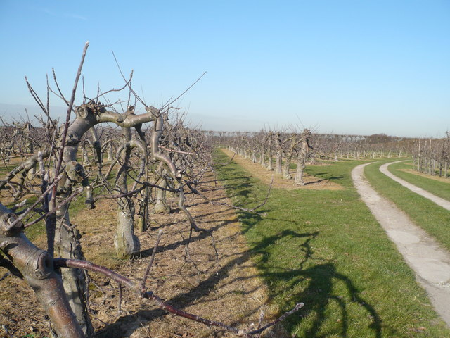 Orchards by the bridleway to Perry Farm