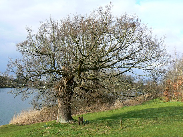 The Council Oak in late winter, Coate Water, Swindon