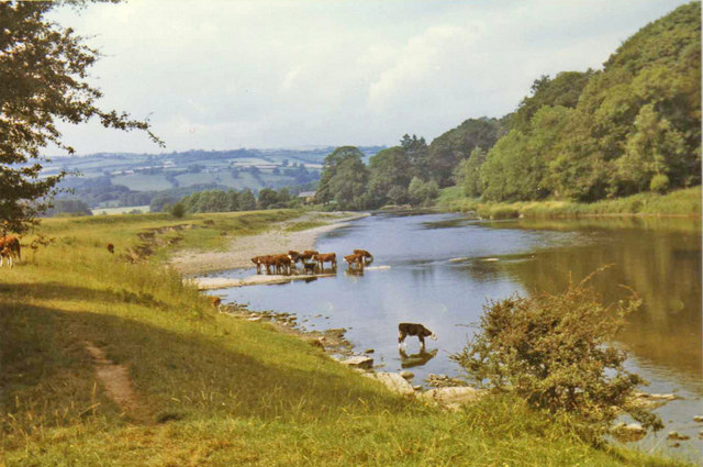 River Wye near Hay on Wye with cattle drinking