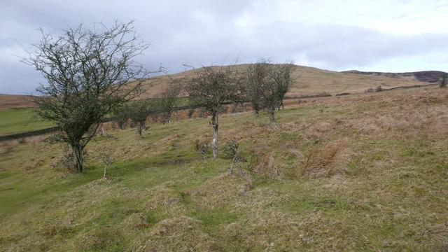 Hawthorn woodland