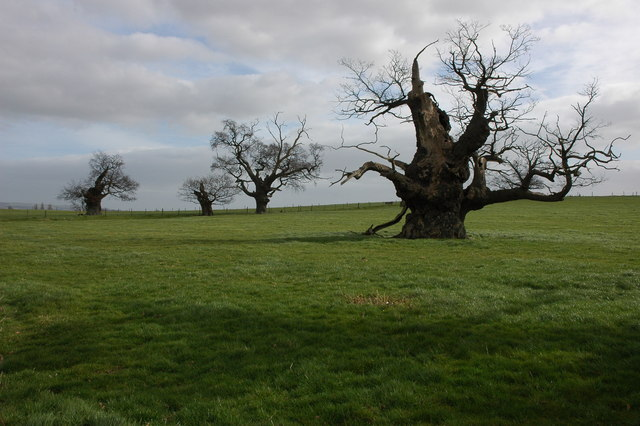 Old oak trees at Home Farm, Forthampton