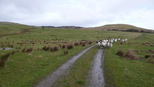 Sheep grazing on Scaur Farm