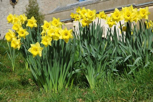 Daffodils at Longdon