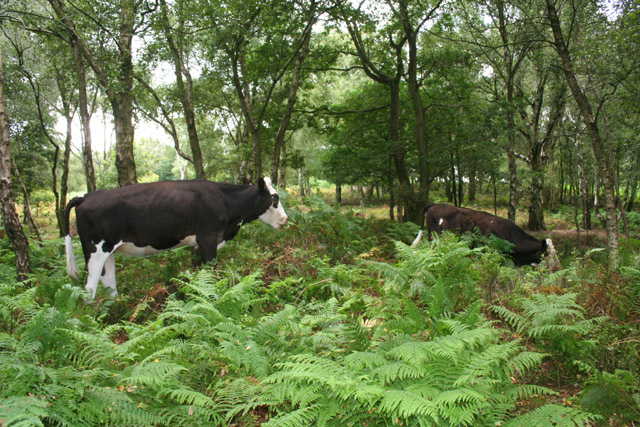 Cows grazing in birch woods at Bickerton