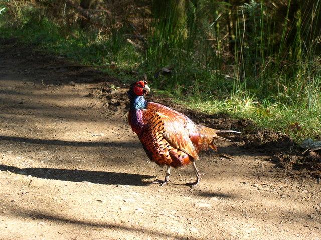 Pheasant Glenapp